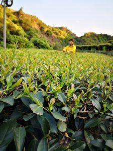 仙土茶业原产地发货微商免费加盟代理茶叶一件代发图片